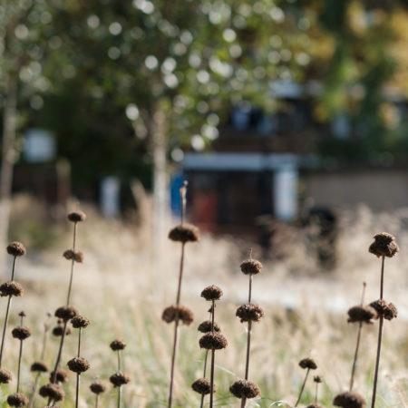 24-RBA-Bridget-Joyce-Square,-Australia-Road-Phlomis-planting