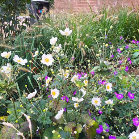 27-RBA-Bridget-Joyce-Square,-Australia-Road-Geraniums-Anenome-planting
