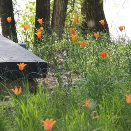 4_Tulips-Prelude