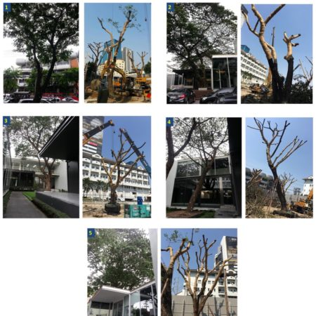 Existing rain trees No.3-5 and their preservation
